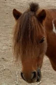 DCT horse: Cinnamon